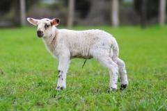 Schafe-Streuobstwiese2