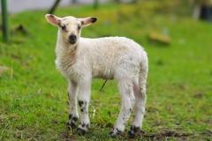 Schafe-Streuobstwiese5