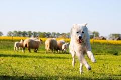 Schafe-Streuobstwiese8